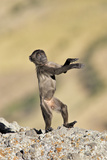 Gelada Baboon Young Standing on Hind Legs Photographic Print