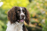 English Springer Spaniel Close Up of Head Photographic Print