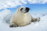 Harp Seal Pup Lying on Ice, Facing Camera Photographic Print