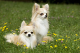 Two Long-Haired Chihuahuas Outside Photographic Print