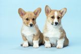 Welsh Corgi Dog (Pembroke) Puppies Photographic Print