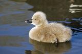 Black Swan Young Cygnet Impressão fotográfica