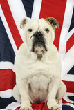 Bulldog Sitting on Union Jack Flag Photographic Print