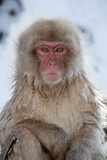 Japanese Macaque Portrait Photographic Print