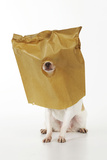 Chihuahua in Paper Bag with Nose Showing Photographic Print