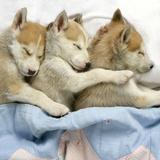 Husky Puppies (7 Weeks Old) Asleep in Bed Fotografisk tryk