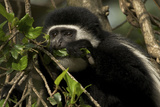 Black and White Colobus Monkey Young Individual Photographic Print