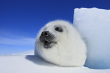 Harp Seal Pup Photographic Print