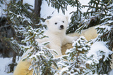 Polar Bear Cub Looking Through Trees from Adult's Back Photographic Print