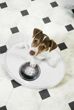 Jack Russell Terrier Puppy on Bathroom Scales Photographic Print