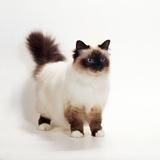 Seal Birman Cat Photographic Print