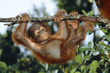 Orang-Utan Young Hanging from Branch Photographic Print