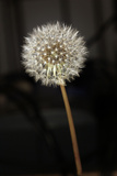 Dandelion Seed Head Fotografisk tryk