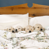 Golden Retriever Puppies, 4 in a Bed Fotografisk tryk