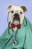 Bulldog in Vets Scrubs Wearing Glasses and Stethoscope Photographic Print