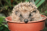 Hedgehog Close-Up in Flower Pot Photographic Print