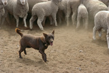 Sheepdog: Kelpie Helping to Muster Sheep Reproduction photographique