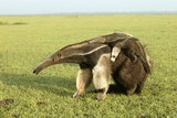 Giant Anteater Carrying Young on Back Photographic Print