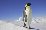Emperor Penguin Adult Photographic Print