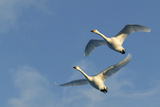 Whooper Swan Two in Flight Impressão fotográfica