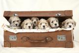 7 Weeks Old Lhasa Apso Cross Shih Tzu Puppies Fotografisk tryk