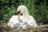 Mute Swan with Cygnets at Nest Impressão fotográfica