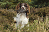 English Springer Spaniel Holding Grouse in Mouth Photographic Print