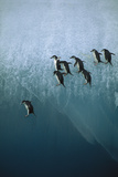 Chinstrap Penguins Jumping Off Blue Ice Fotografisk tryk