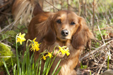 Miniature Long Haired Dachshund by Daffodils Photographic Print