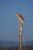 Squacco Heron Perched on Wooden Post Photographic Print