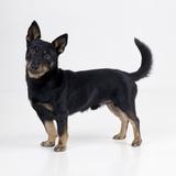 Lancashire Heeler Dog Photographic Print