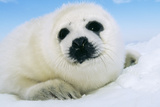 Harp Seal Pup Close-Up of Head Photographic Print