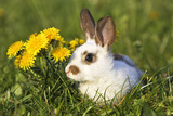 Domestic Rabbit Young with Dandelions Photographic Print