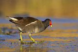 Moorhen Walking on Thin Ice in Early Morning Photographic Print