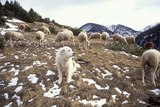 Pyrenean Mountain Dog Protecting Sheep Photographic Print