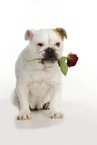 Bulldog Holding Rose Photographic Print