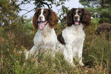English Springer Spaniel Pair Sitting in Heather Photographic Print