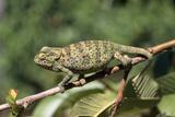 Flap-Neck Chameleon Photographie