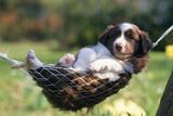 Border Collie Puppy Lying in Hammock Fotografisk tryk