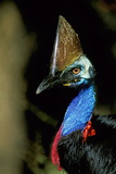 Southern Cassowary Male in Tropical Rainforest Photographic Print