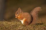 Red Squirrel Eating Nuts on Woodland Floor Fotografisk trykk