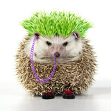 Punk 'Boy' Hedgehog Photographic Print