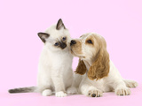 Cocker Spaniel with Birman Kitten Photographic Print