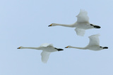 Whooper Swans in Flight Photographic Print