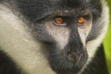 L'Hoest's Monkey Fotografisk tryk