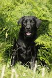 Black Labrador Sitting in Ferns Photographic Print