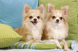 Two Long-Haired Chihuahuas Sitting on Cushions Photographic Print