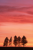 Sunset with Spruce Firs on Horizon Photographic Print