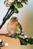 Chaffinch Male on Branch of Appletree with Blossoms Photographic Print