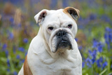 Bulldog Standing in Bluebells (Head Shot) Photographic Print